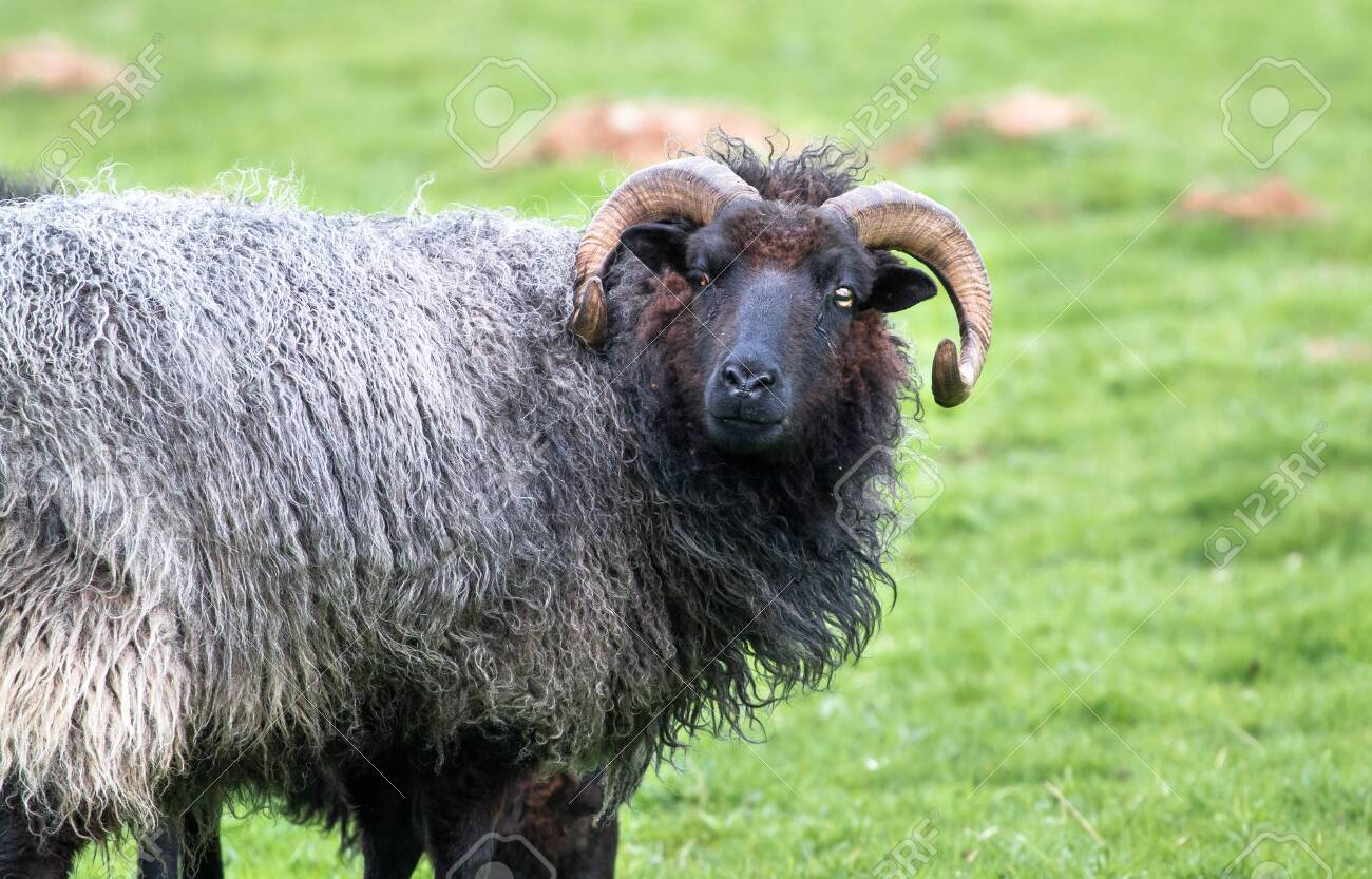 A black-haired sheep with long horns stands in a grassy field at Venus Pool in Shropshire, England. - 120580404