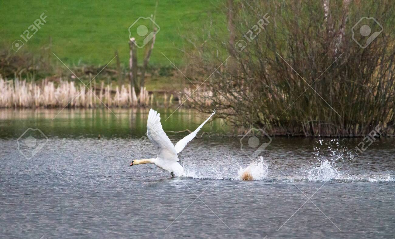 A mute swan (Cygnus olor) takes off from Venus Pool in Shropshire, England. - 120580408