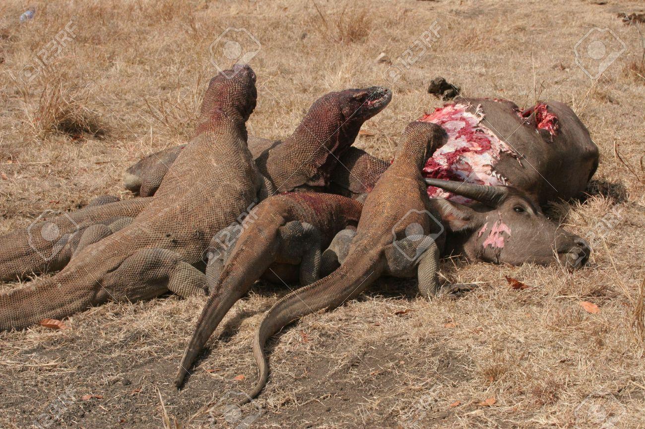 komodo dragons eating wild buffalo rinca island indonesia stock