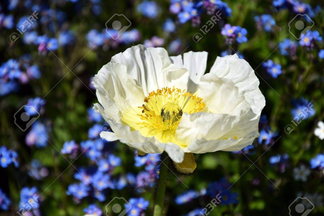 Arctomecon Merriamii White Poppy Sighs Forget Me Not Flowers