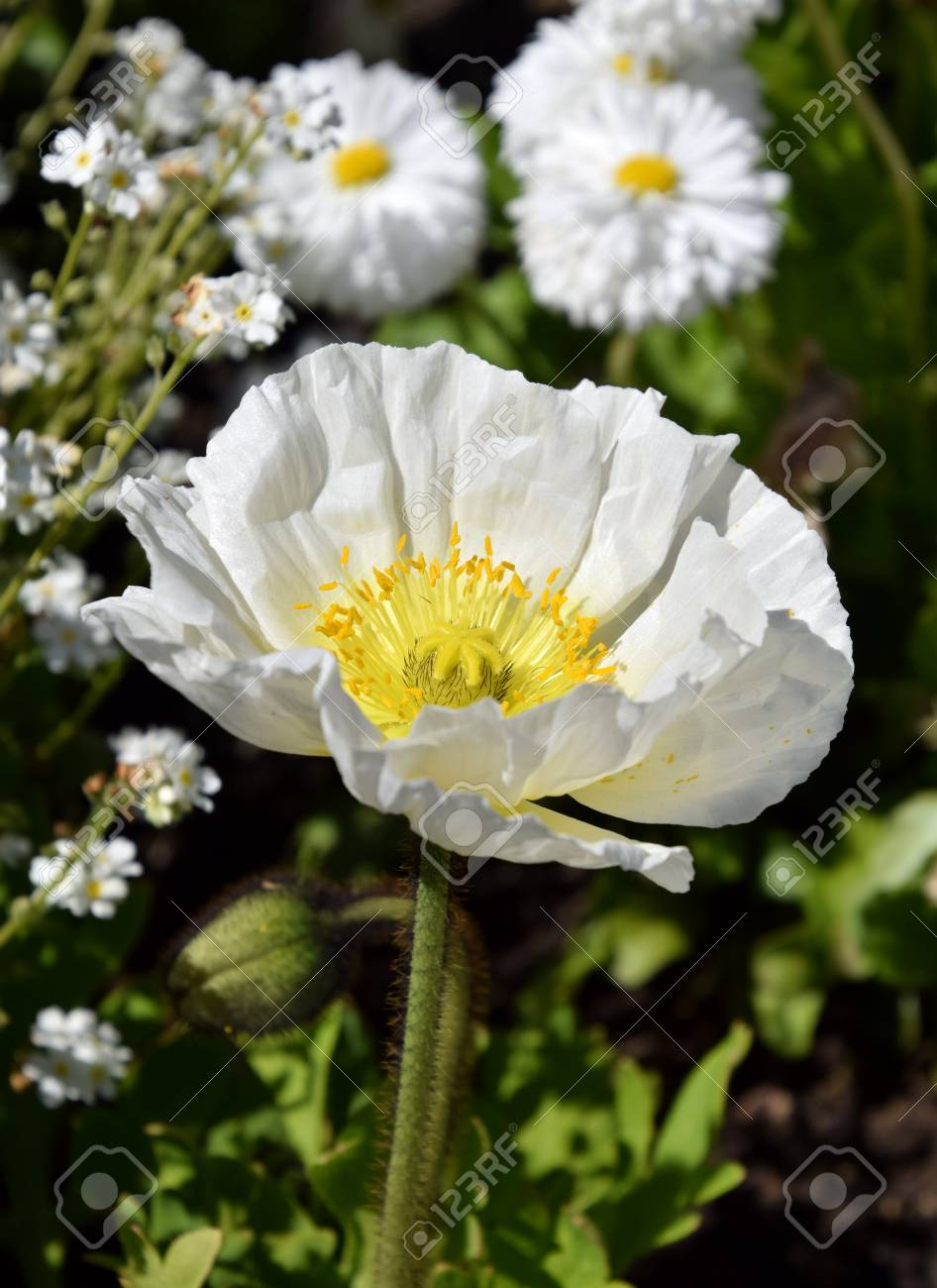 Arctomecon merriamii white poppy flower stock photo picture and arctomecon merriamii white poppy flower stock photo 78130608 mightylinksfo