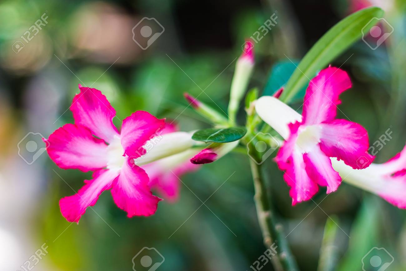 Close Up Pink Azalea Flower Stock Photo Picture And Royalty Free