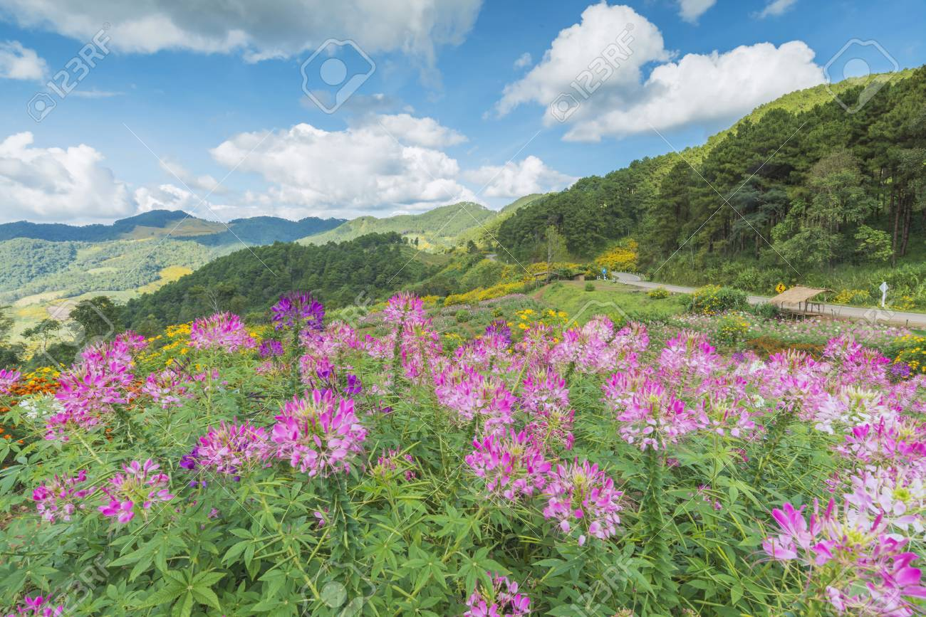 Field Of Pink Flowers And Blue Sky Stock Photo Picture And Royalty