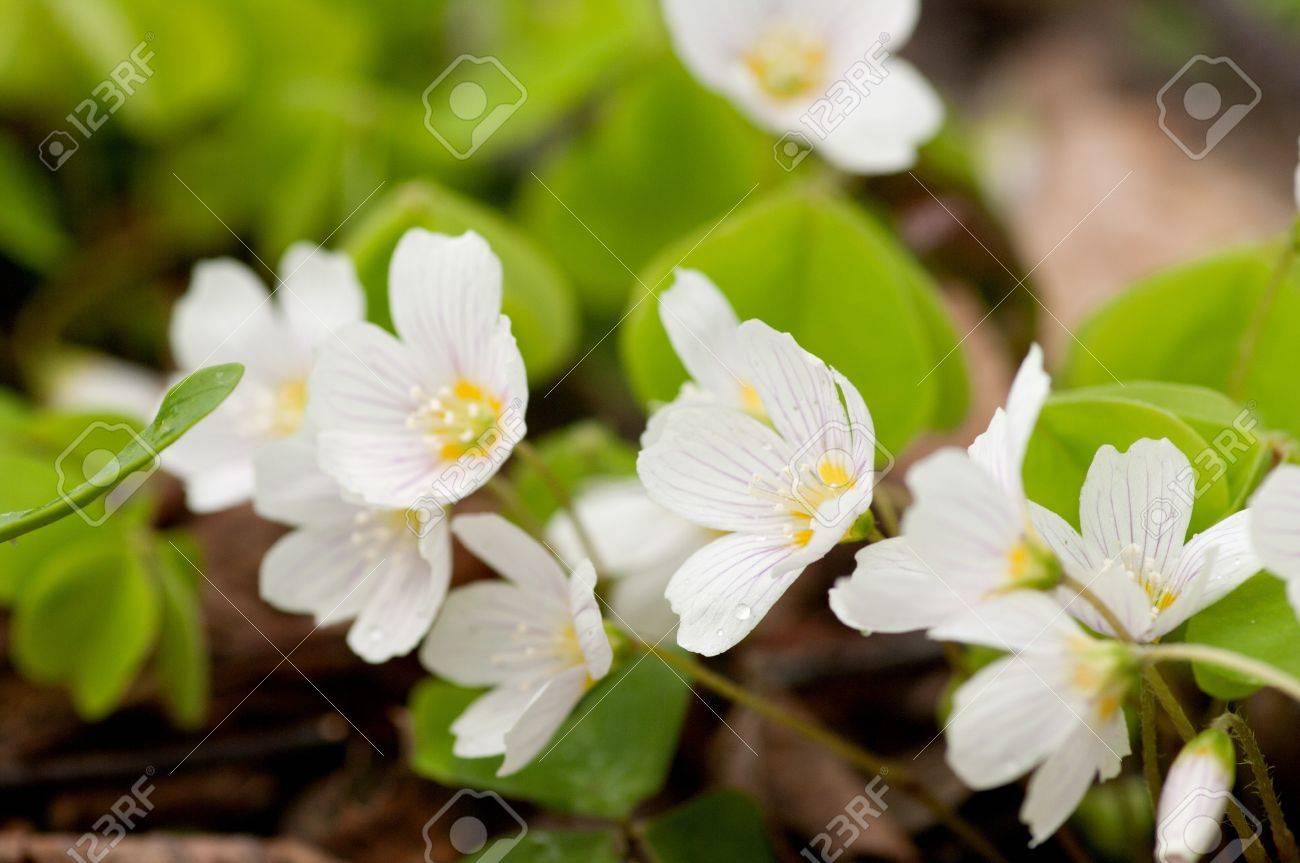 Acedera Común Es Una Planta Similar Al Trébol. Tiene Unas Hermosas ...