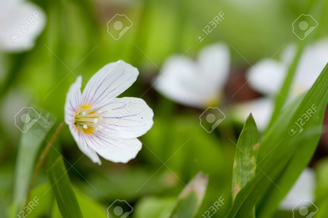 Common wood sorrel is a plant similar to clover. It has a beautiful, delicate little flowers. Stock Photo - 14518529