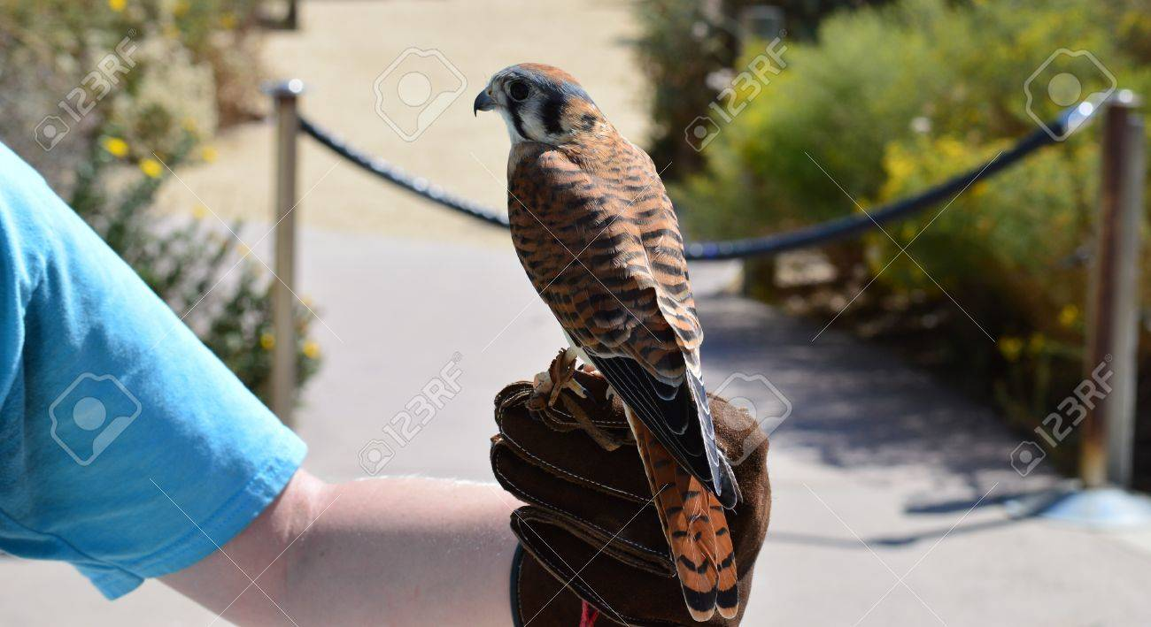 A Kestrel Being Held On Glove With Their Back To The Camera Stock Photo