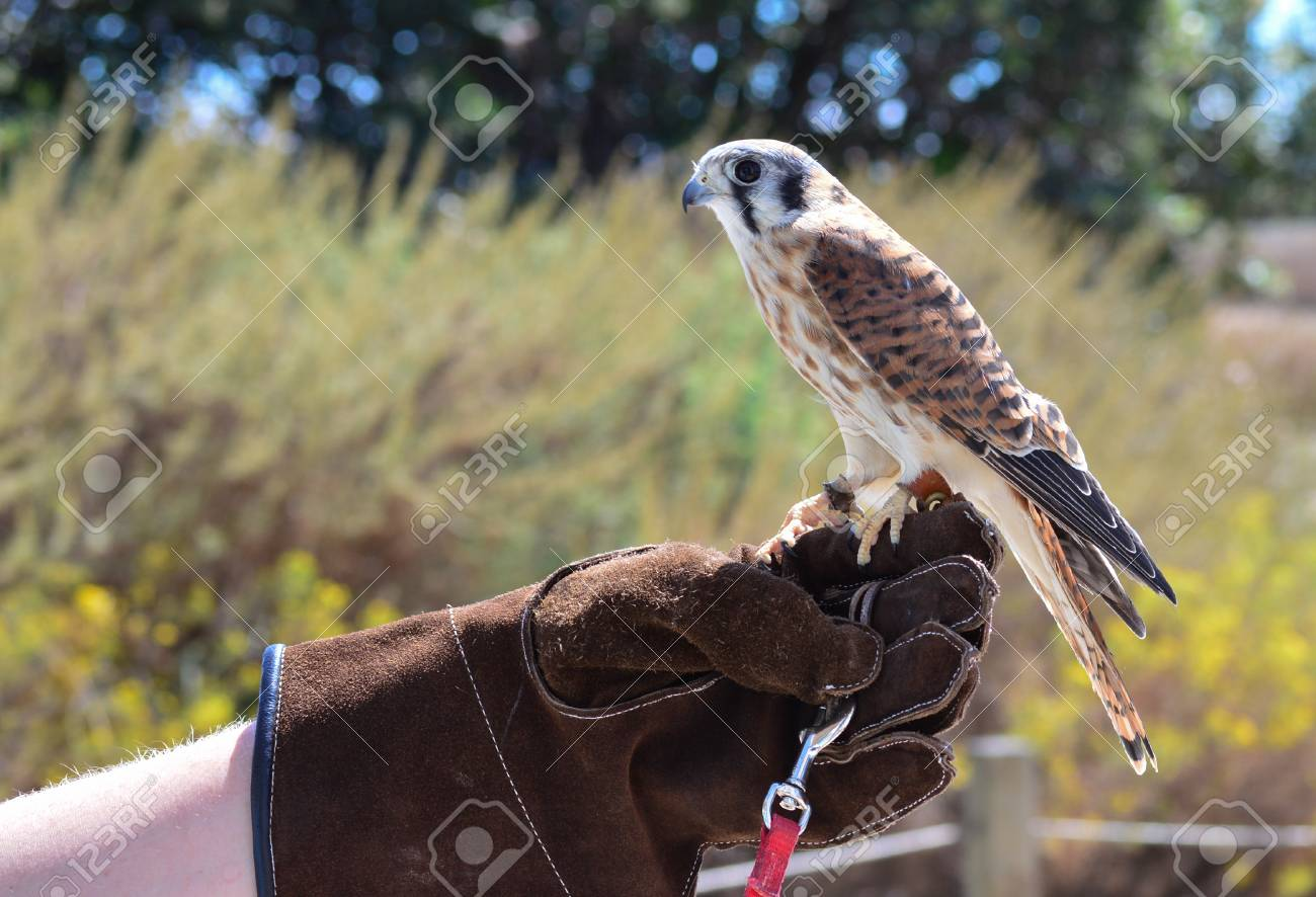 A Kestrel Being Held On Glove At Profile View Stock Photo