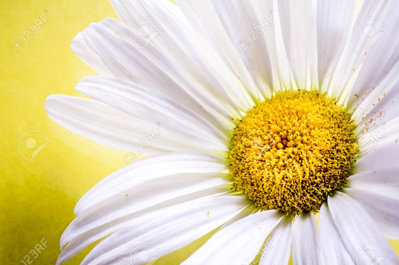 Close Up Of A White Daisy Flower On Yellow Background Stock Photo