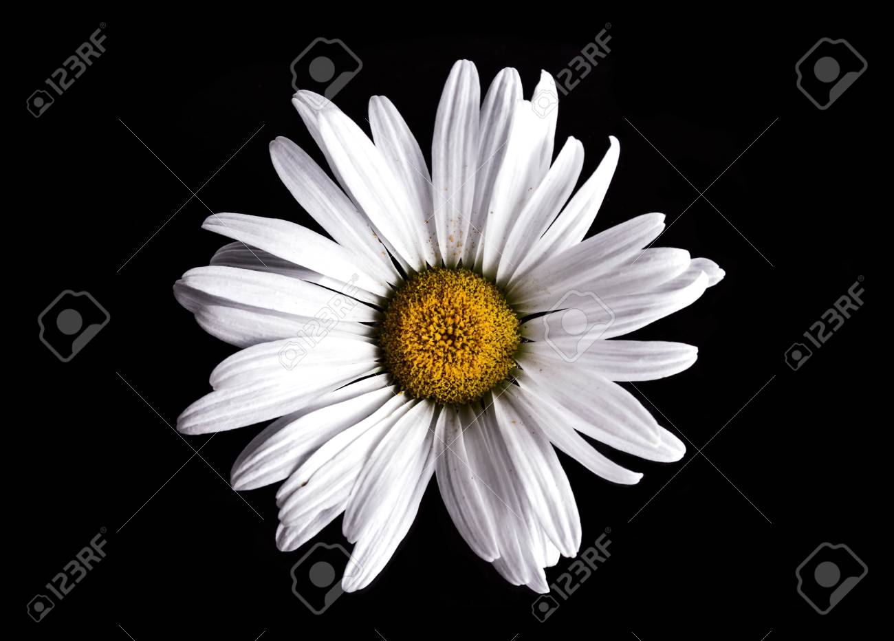 Close up of a white daisy flower on black background stock photo close up of a white daisy flower on black background stock photo 44237542 izmirmasajfo