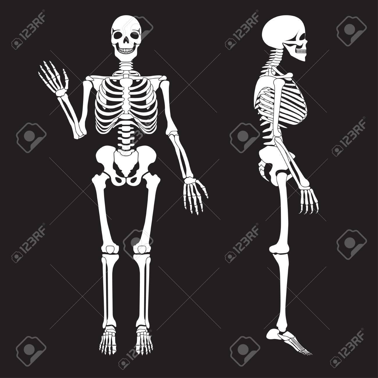 Los Huesos Humanos Esqueleto Silueta Vector. Anatomía Del Cuerpo ...
