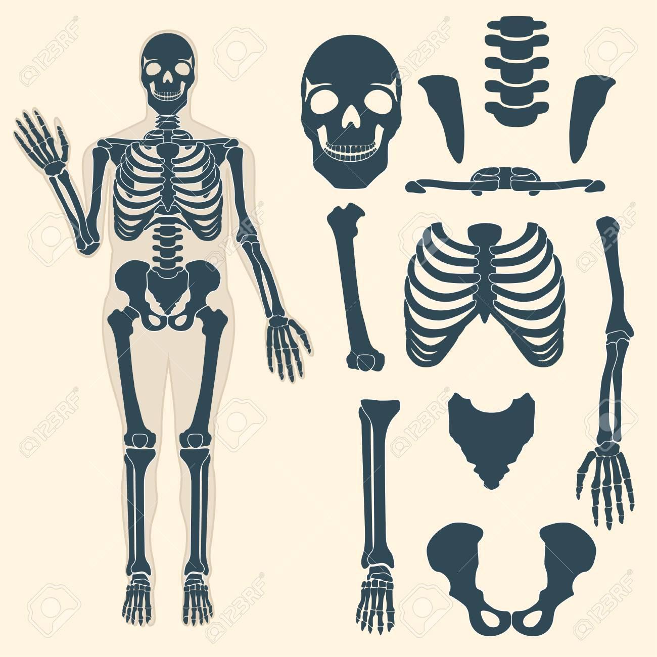 Esqueleto Humano Con Diferentes Partes. Anatomía Del Cuerpo Humano ...