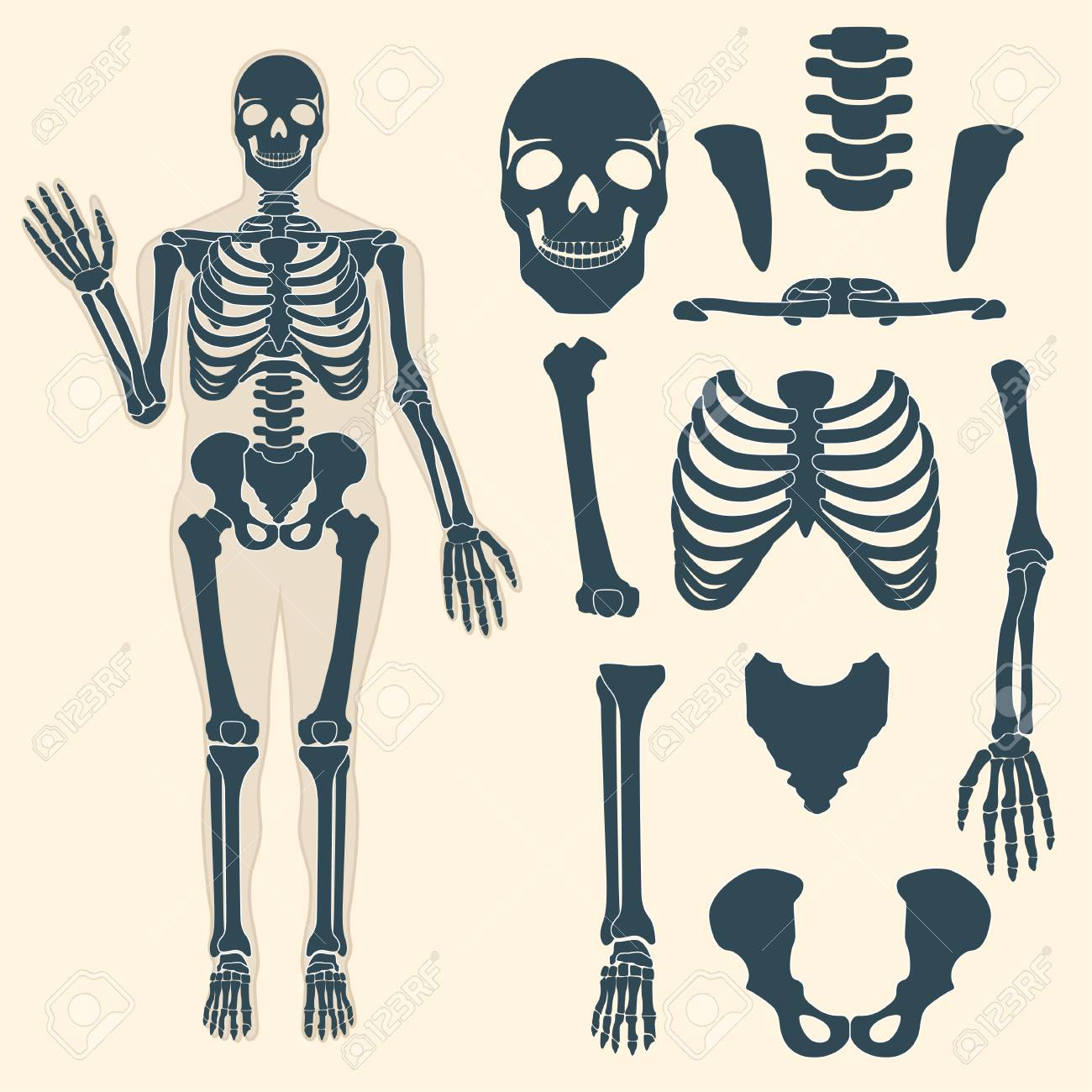 Human Skeleton With Different Parts. Anatomy Of Human Body, Wrist ...