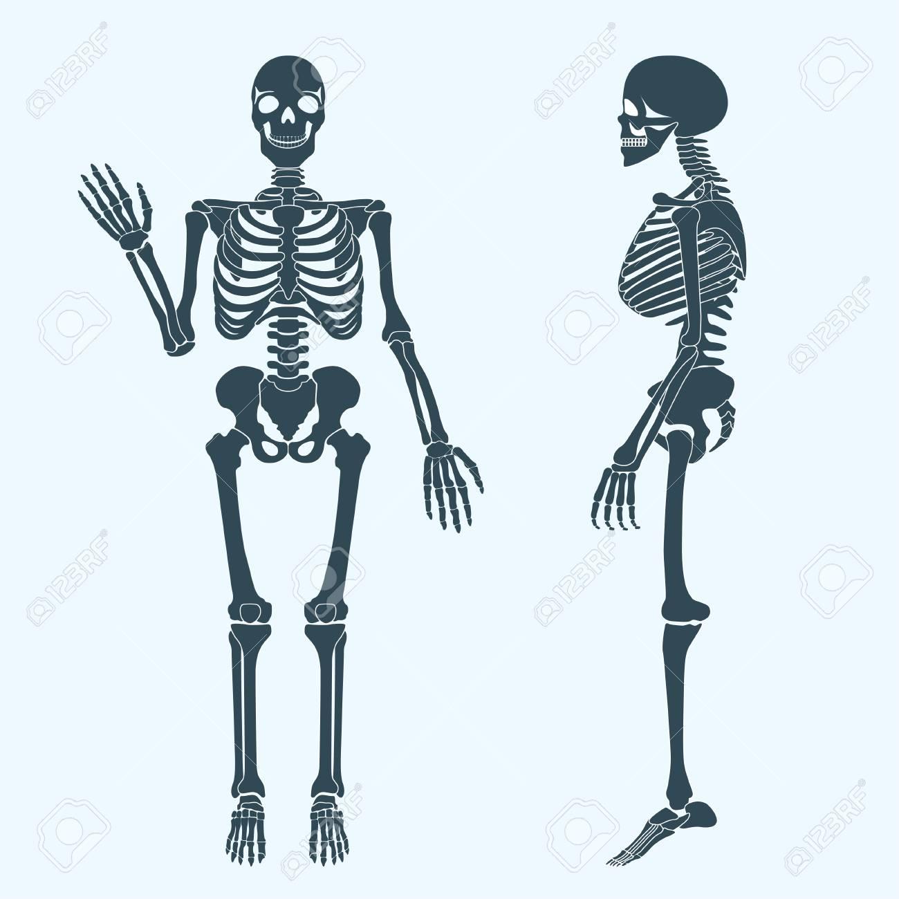 Human Bones Skeleton Silhouette Vector Royalty Free Cliparts