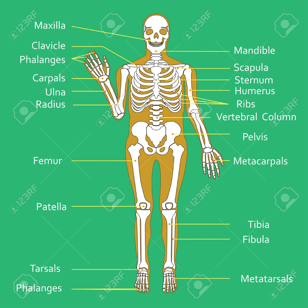 Medical Education Chart Of Biology For Human Skeleton Diagram Full Body Muscle Stock Vector 87286726