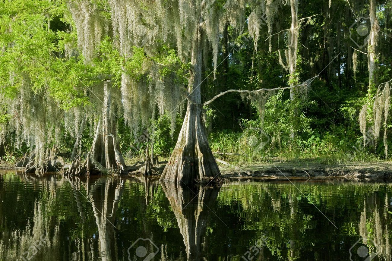 Bald Cypress Trees reflecting in the water in a florida swamp on a warm summer day - 8532195