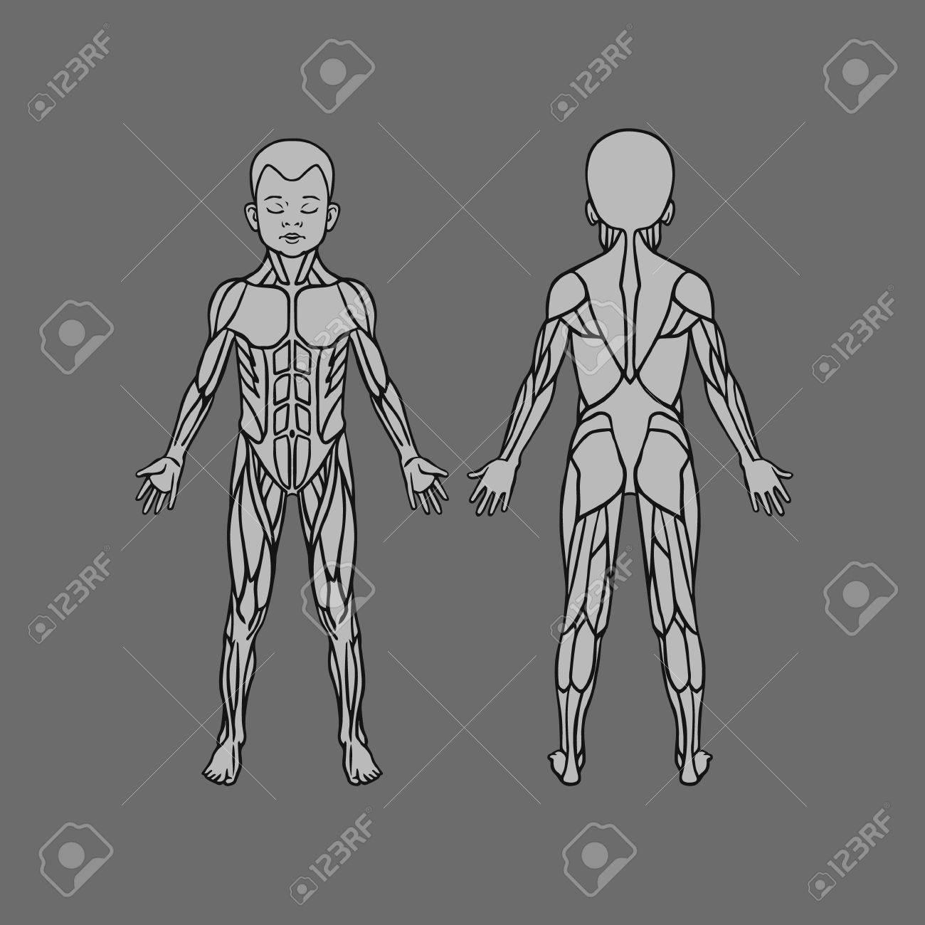 Anatomía Del Sistema Muscular Del Cabrito Del Bebé Del Niño, El ...