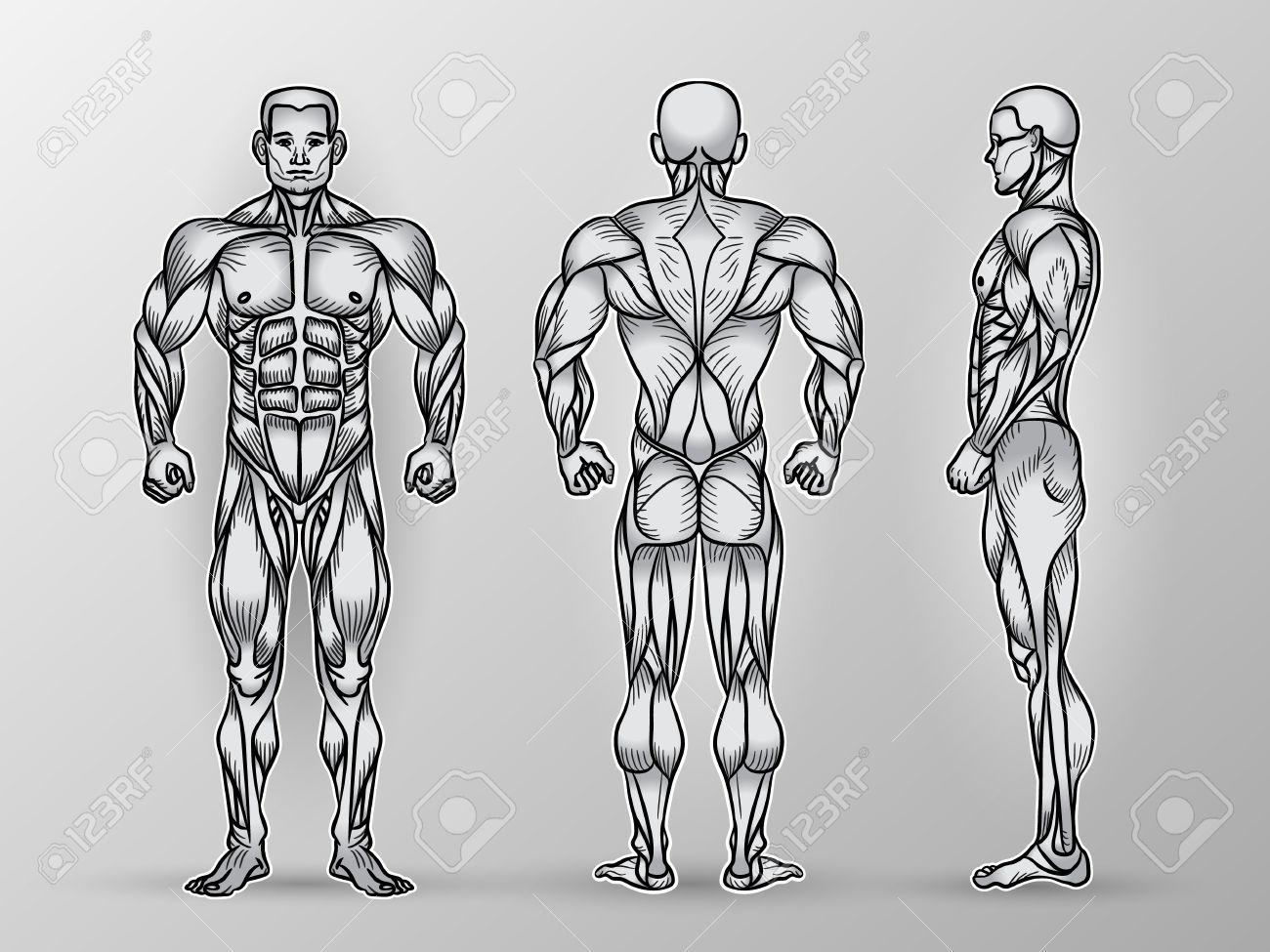 Anatomie Der Männlichen Muskelsystem, Bewegung Und Muskelführung ...