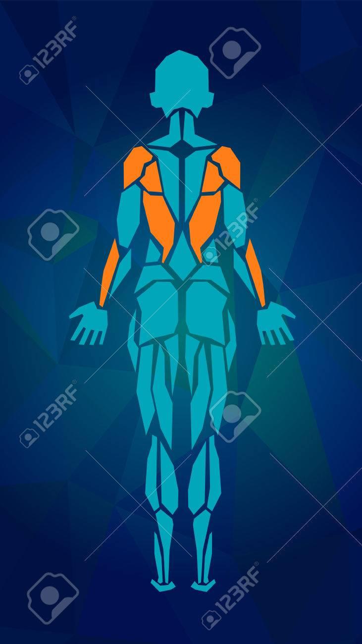 Polygonal Anatomie Der Weiblichen Muskelsystem, Bewegung Und ...