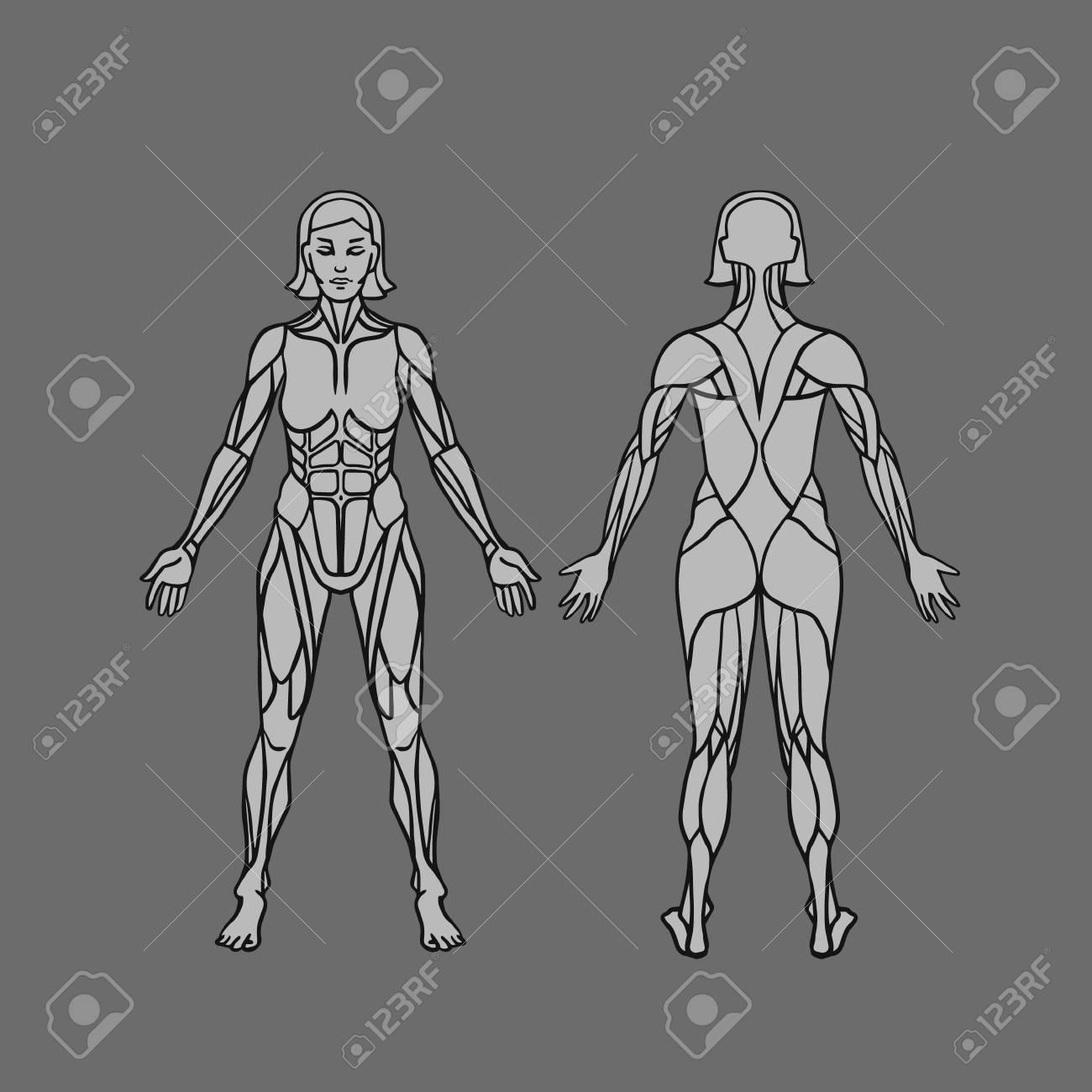 Anatomie Der Weiblichen Muskelsystem, Bewegung Und Muskelführung ...