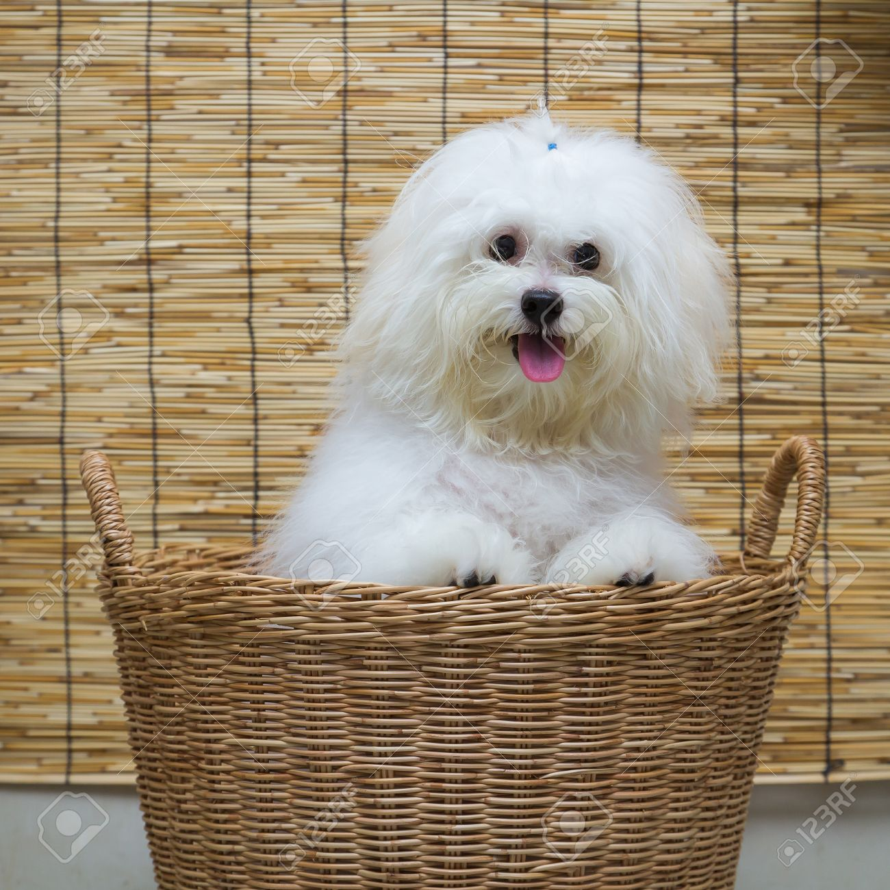 Shih Tzu Puppy Breed Tiny Dog In Basket With Japan Mat Background Stock Photo Picture And Royalty Free Image Image 36279297