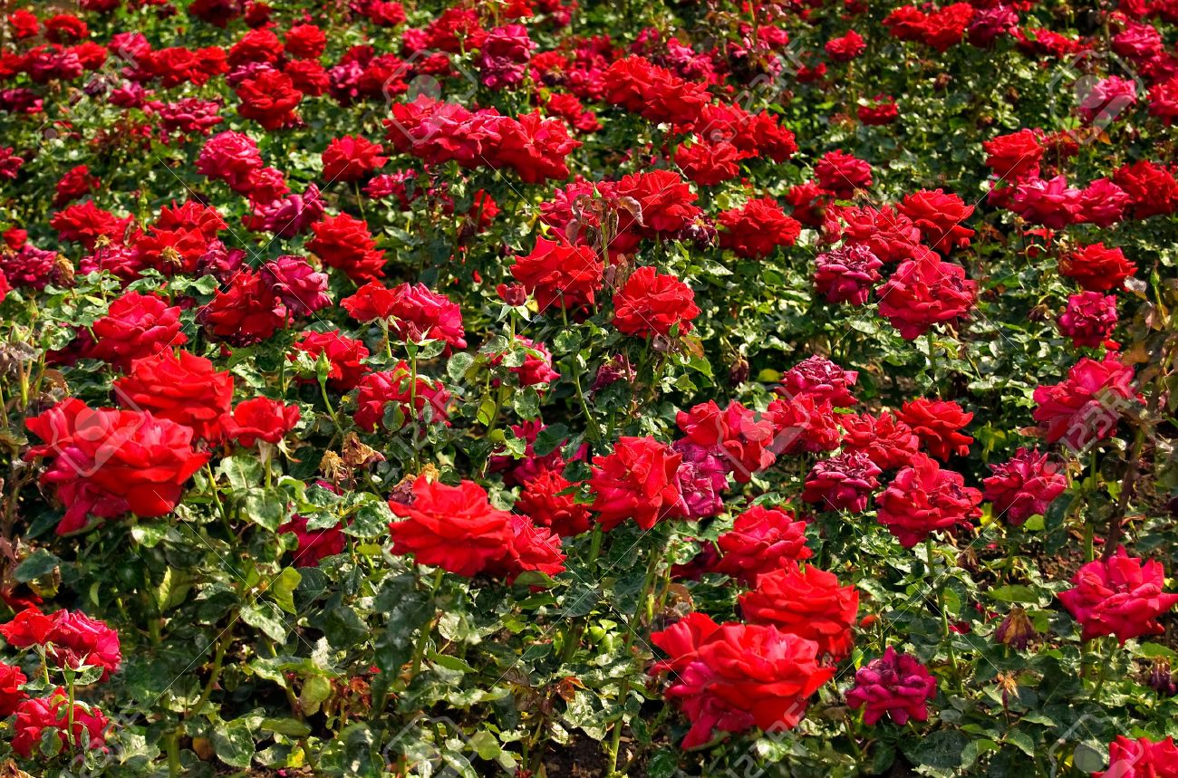 Merveilleux A Field Of Red Roses Stock Photo   3402100