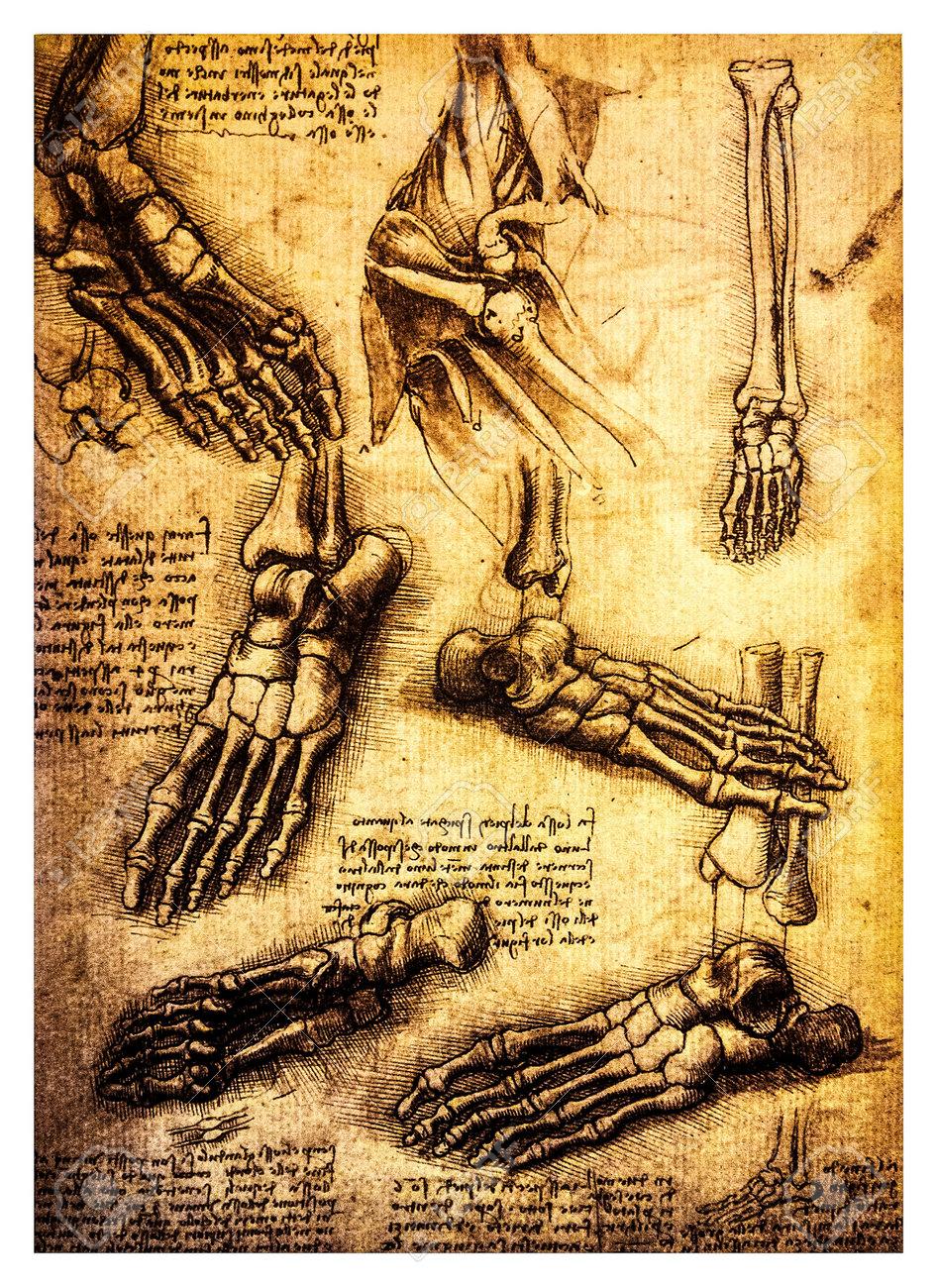 Alte Anatomischen Zeichnungen Von Leonardo DaVinci, Eine Studie Des ...