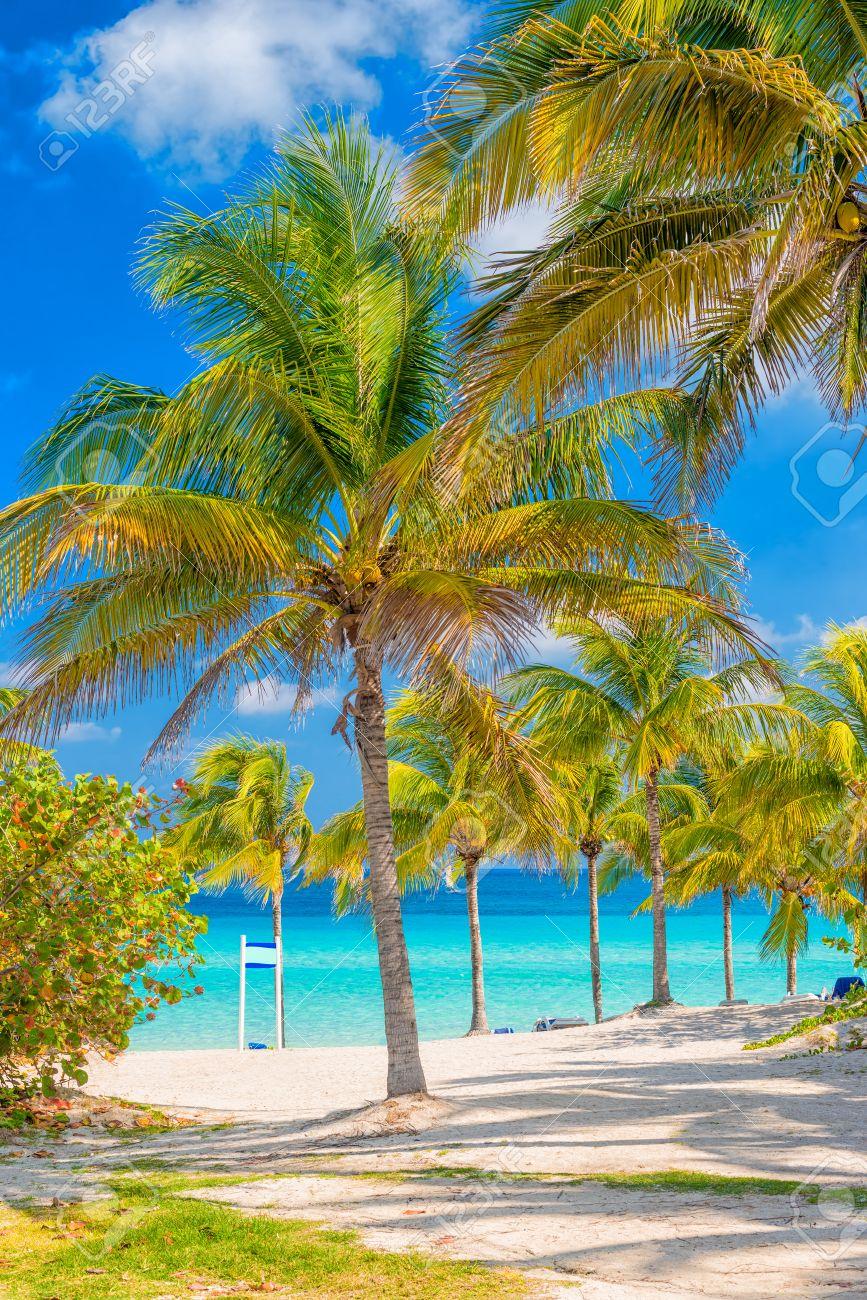 Coconut Palm Trees On A Sunny Day At Varadero Beach In Cuba Stock ...