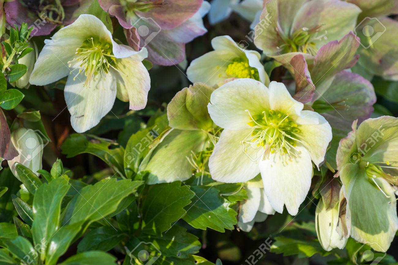 Close Up Of A Hellebore Plant With White Flowers Stock Photo