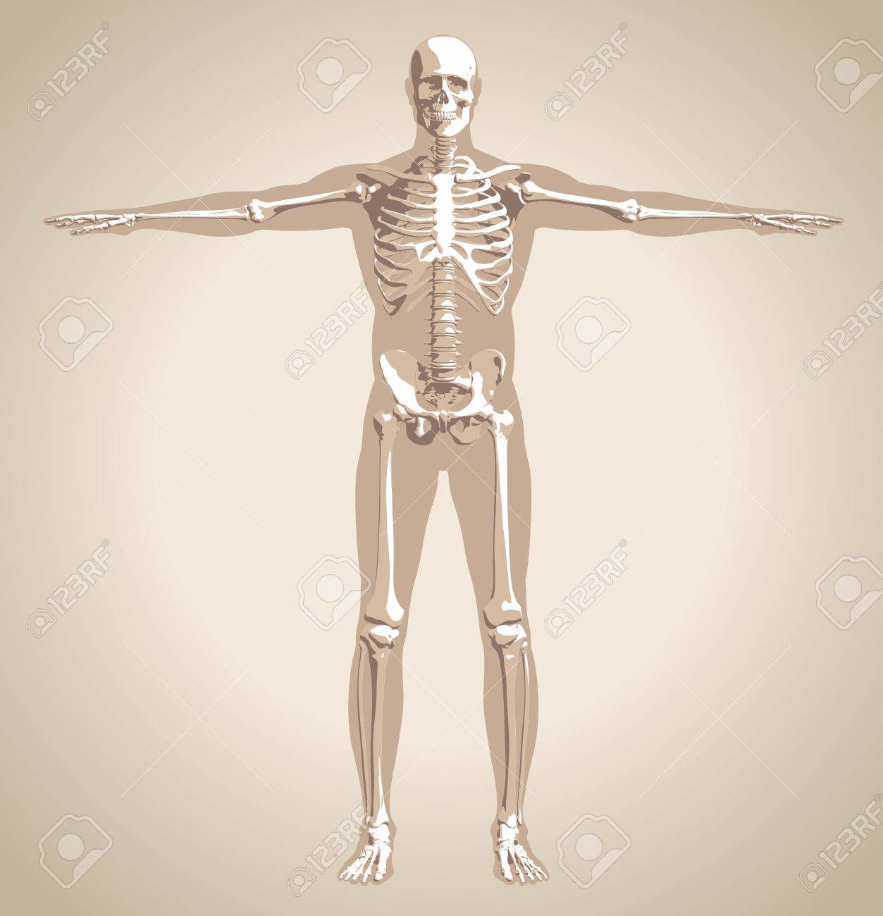 The Human (male) Skeleton On Body Background In The Vintage Style ...