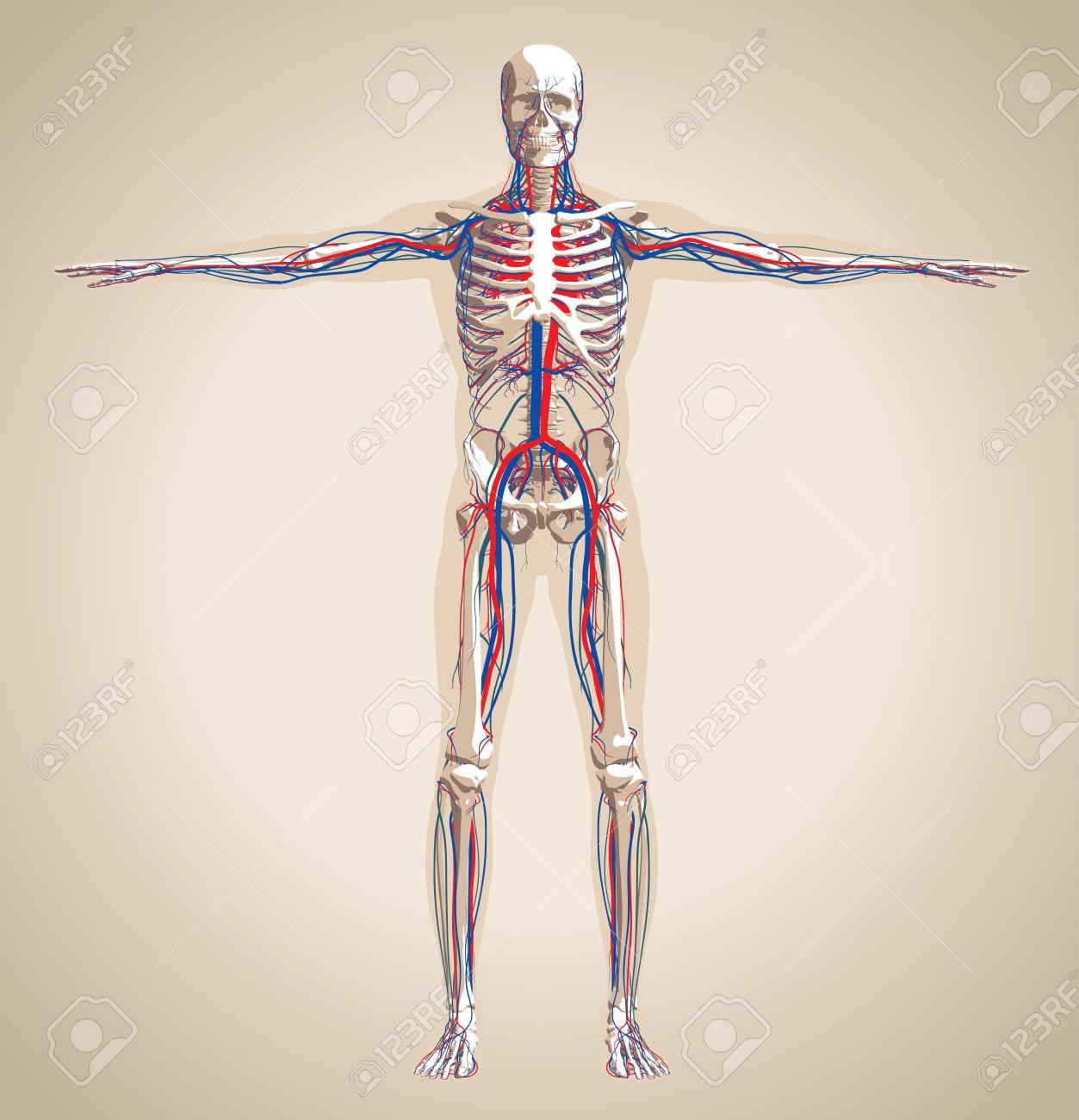 Sistema Humano (varón) Circulatorio Y El Sistema Nervioso. Esquema ...
