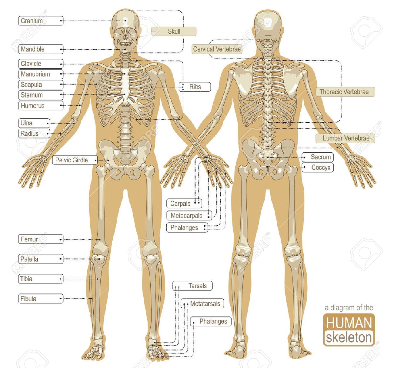 A Diagram Of The Human Skeleton With Titled Main Parts Of The