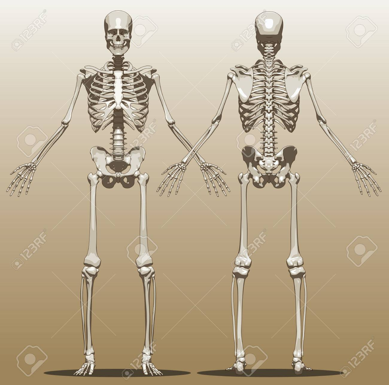 Front And Back View Of A Human Skeleton (male). Vector Illustration ...