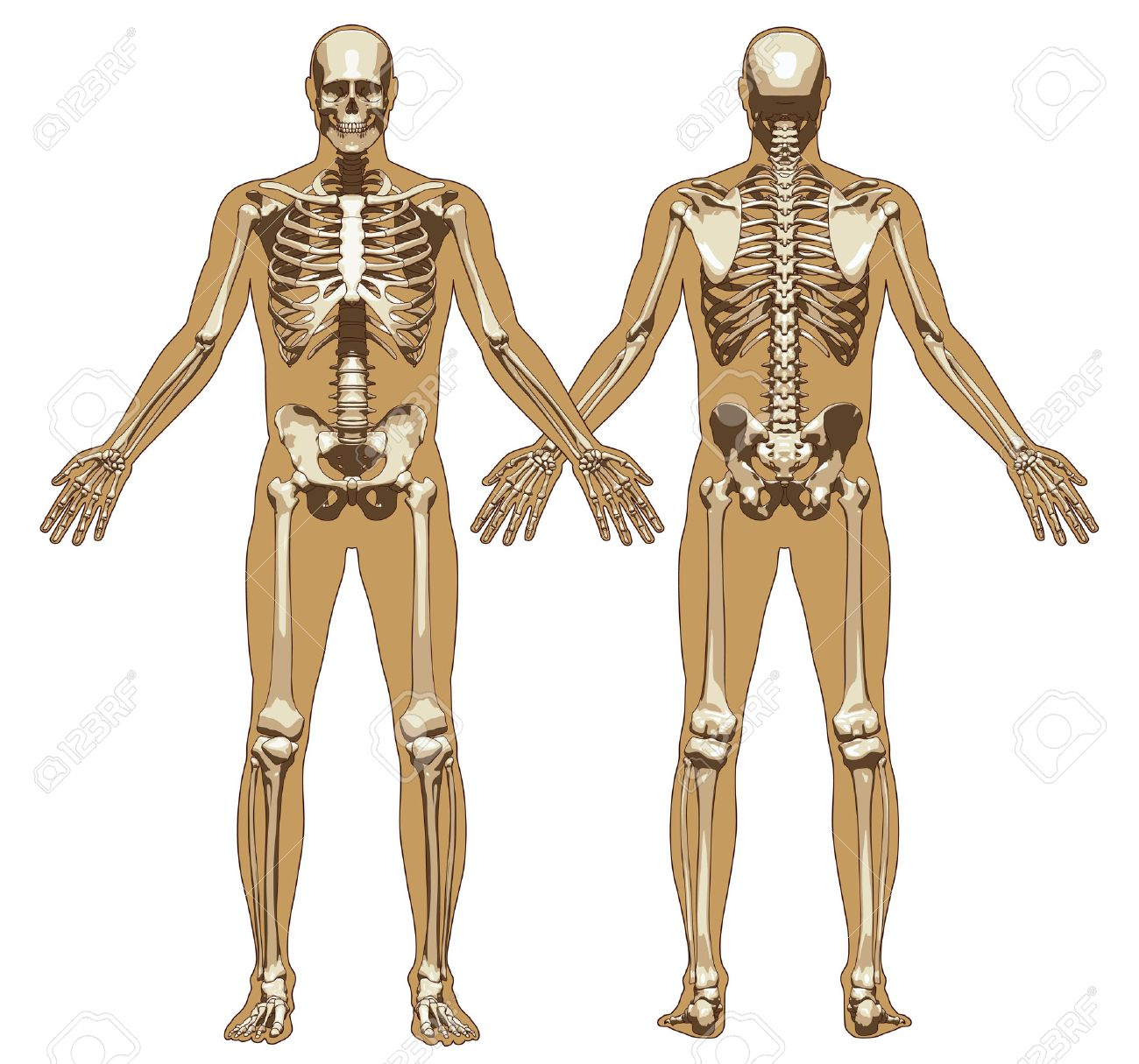 human skeleton on flat body background. front and back view, Skeleton