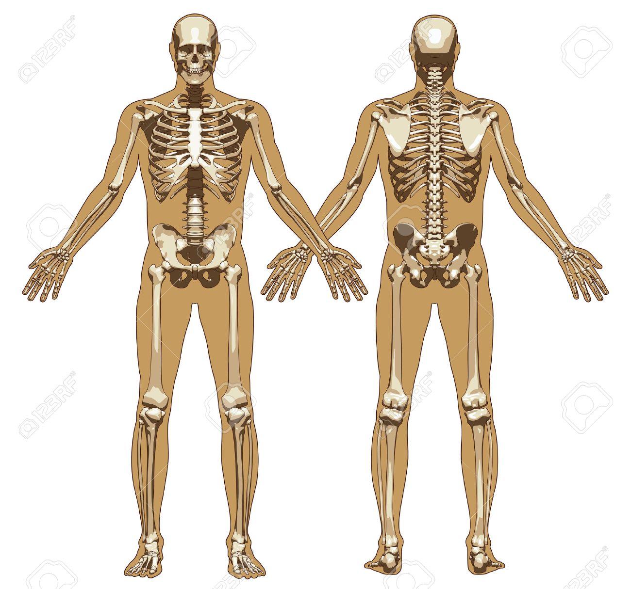 Menschliches Skelett Auf Flachen Körper Hintergrund. Vorder- Und ...