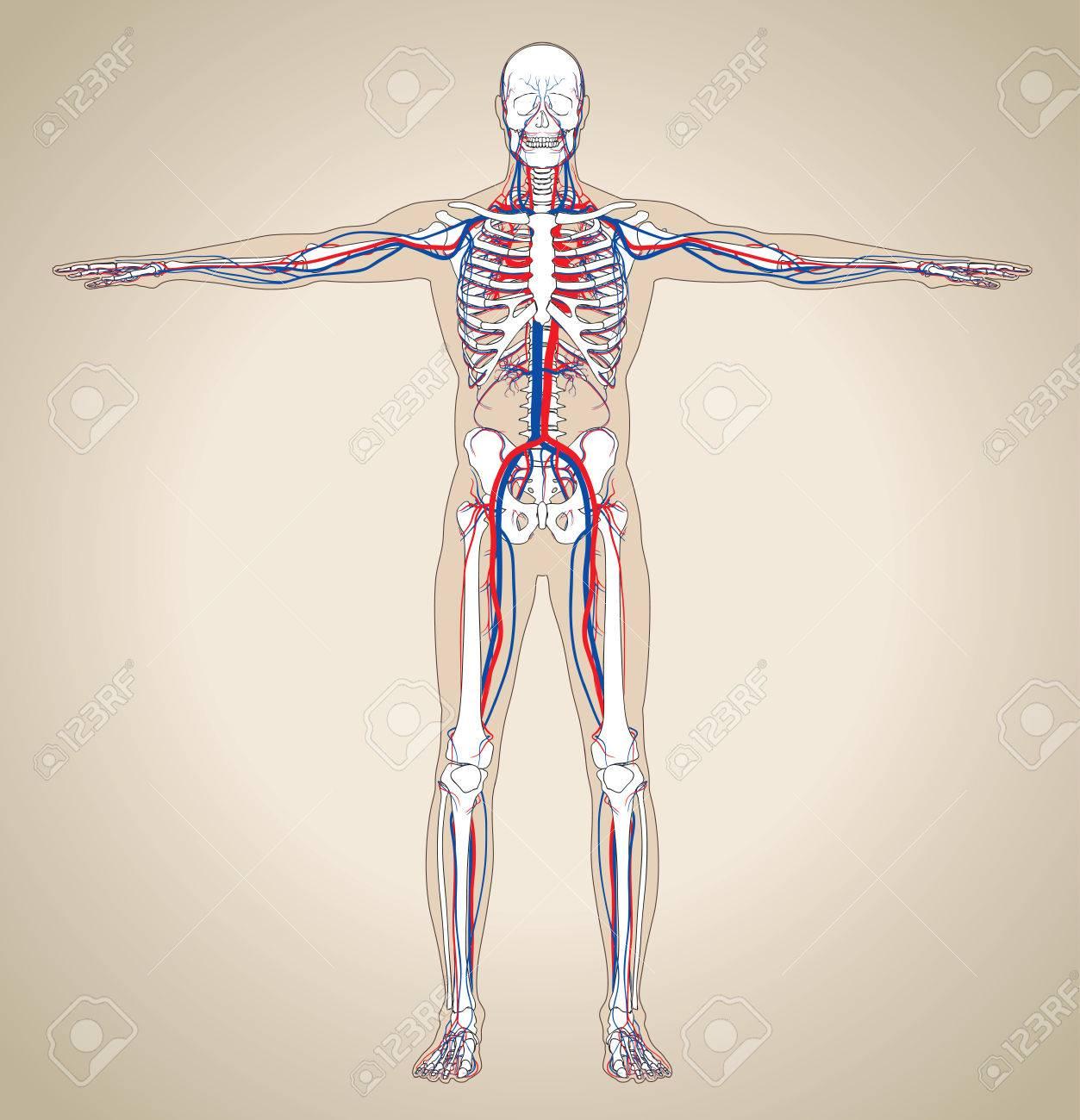Sistema Circulatorio Humano (varón). Esquema También Contiene La ...
