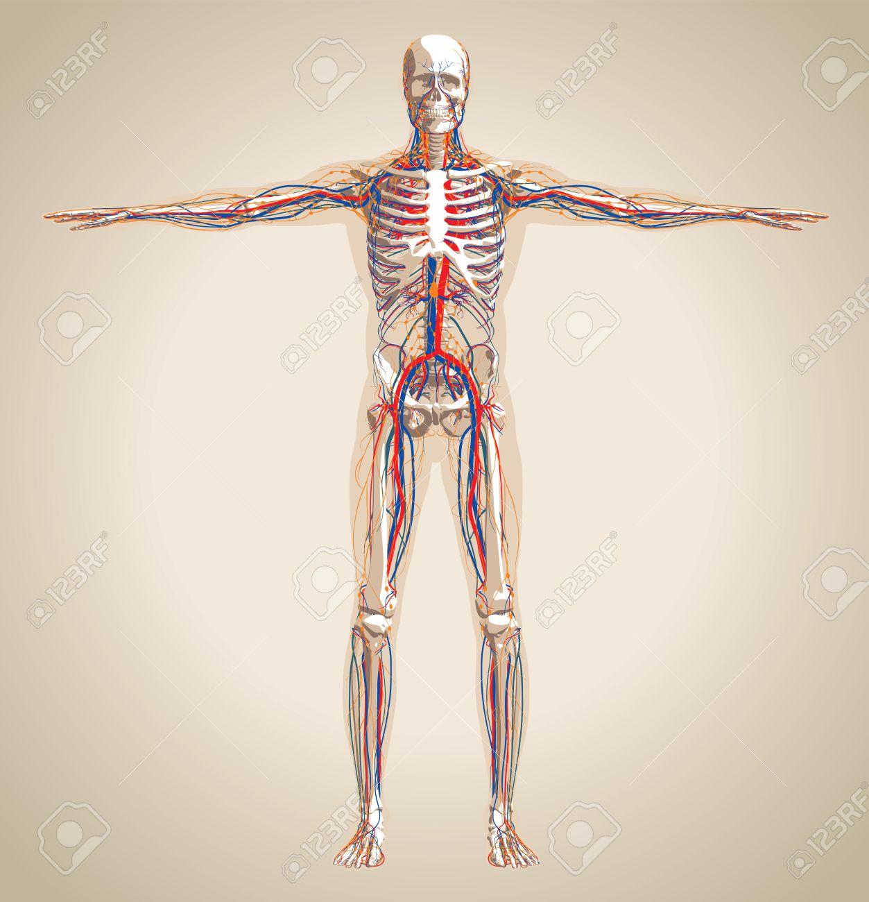 Mensch (männlich) Kreislaufsystem, Das Nervensystem Und Das ...