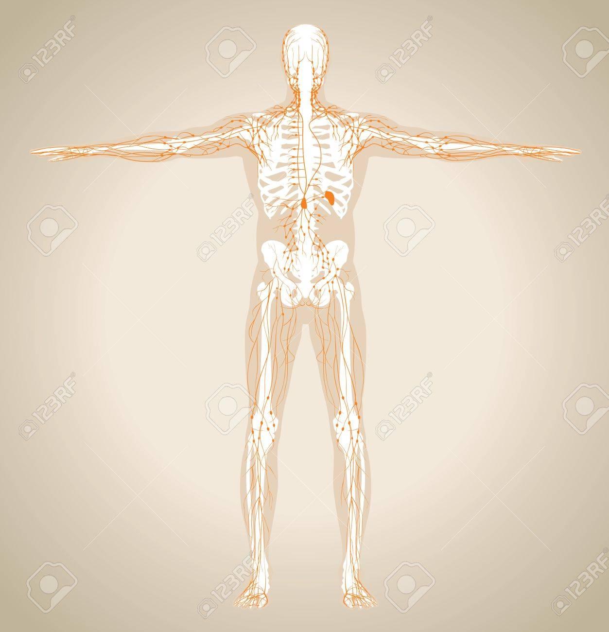 Großzügig Skelett System Des Menschlichen Körpers Anatomie Bilder ...
