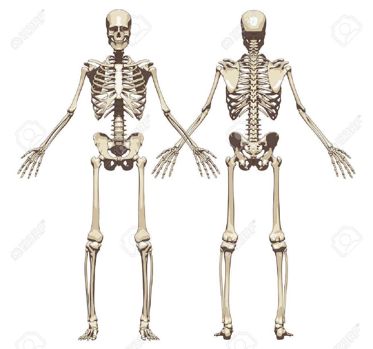 Un Esqueleto Humano. Vista Frontal Y Posterior Aislado En Un Fondo ...