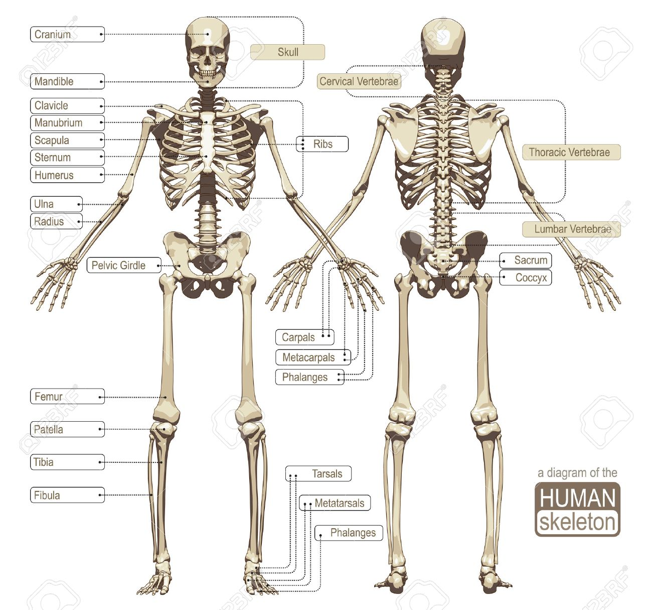 A diagram of the human skeleton with titled main parts of the a diagram of the human skeleton with titled main parts of the skeletal system vector ccuart Choice Image