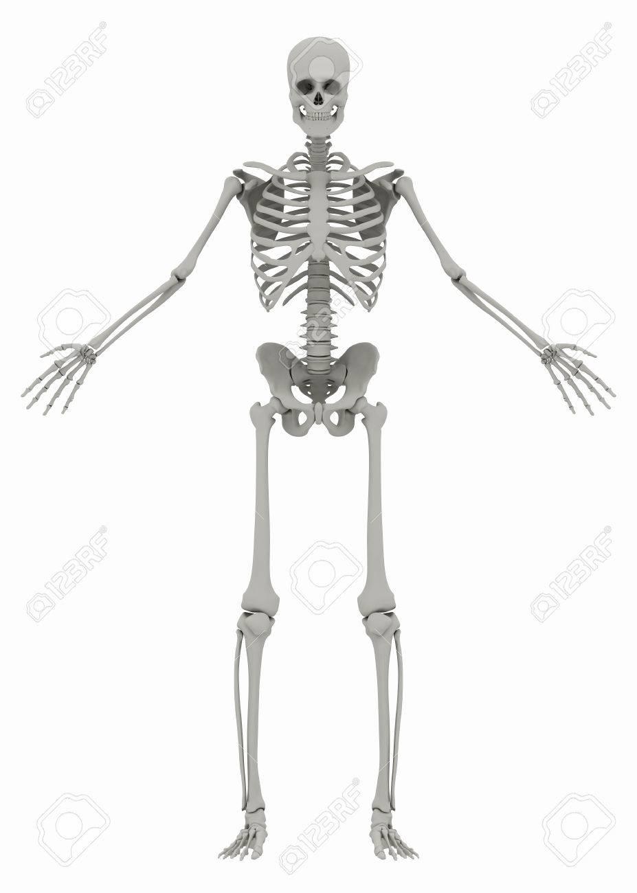 Le squelette humain (masculin) sur fond blanc. Image isolée sur fond blanc. f6028b52843