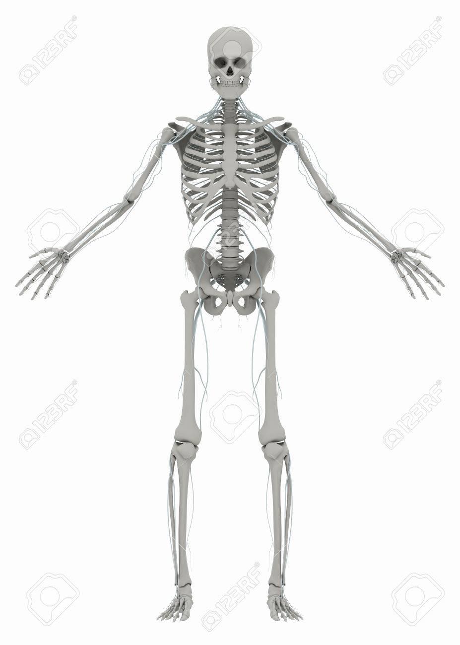 Esqueleto Humano Y Sistema Nervioso. Imagen Aislada En Un Fondo ...