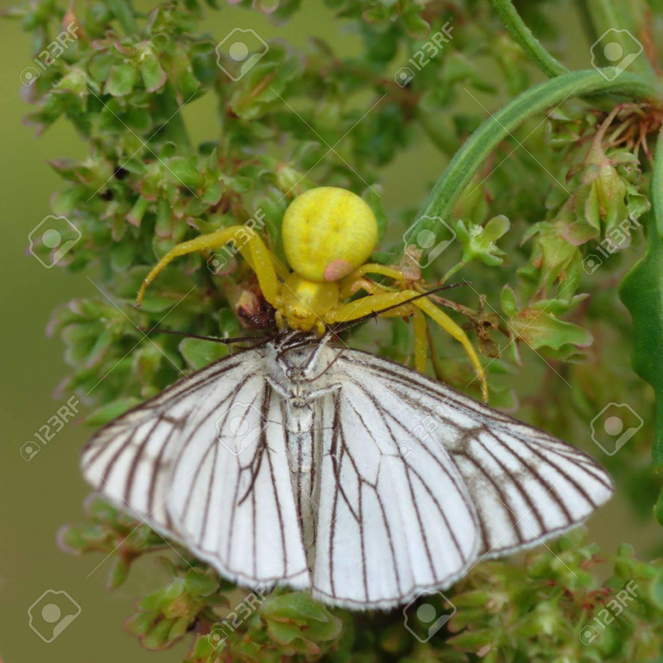 黄色い花蜘蛛 (Diaea。 属) 通常同じ色の花で、犠牲者を待ちます。この ...