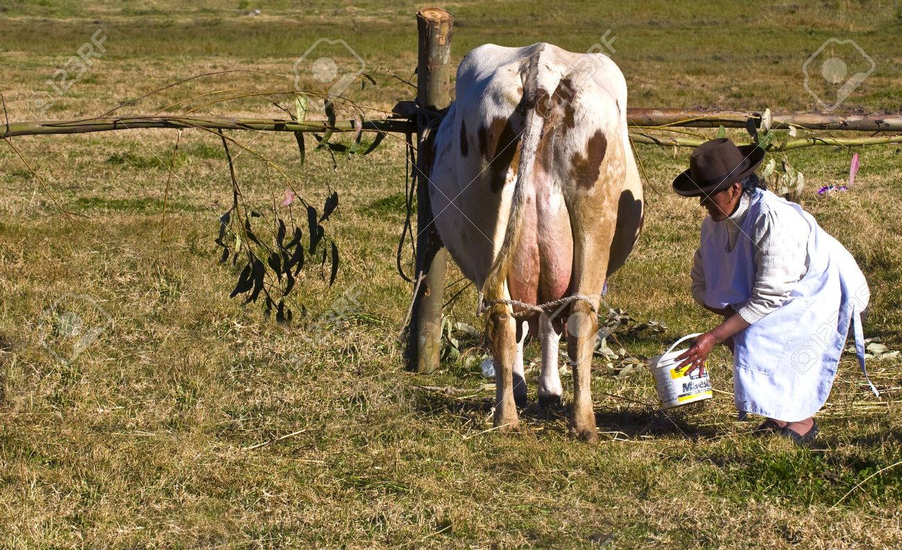 SACRED VALLEY,  PERU - MAY 29 : Peruvian woman is milking a cow in a farm at the Andes of Peru Stock Photo - 10591992
