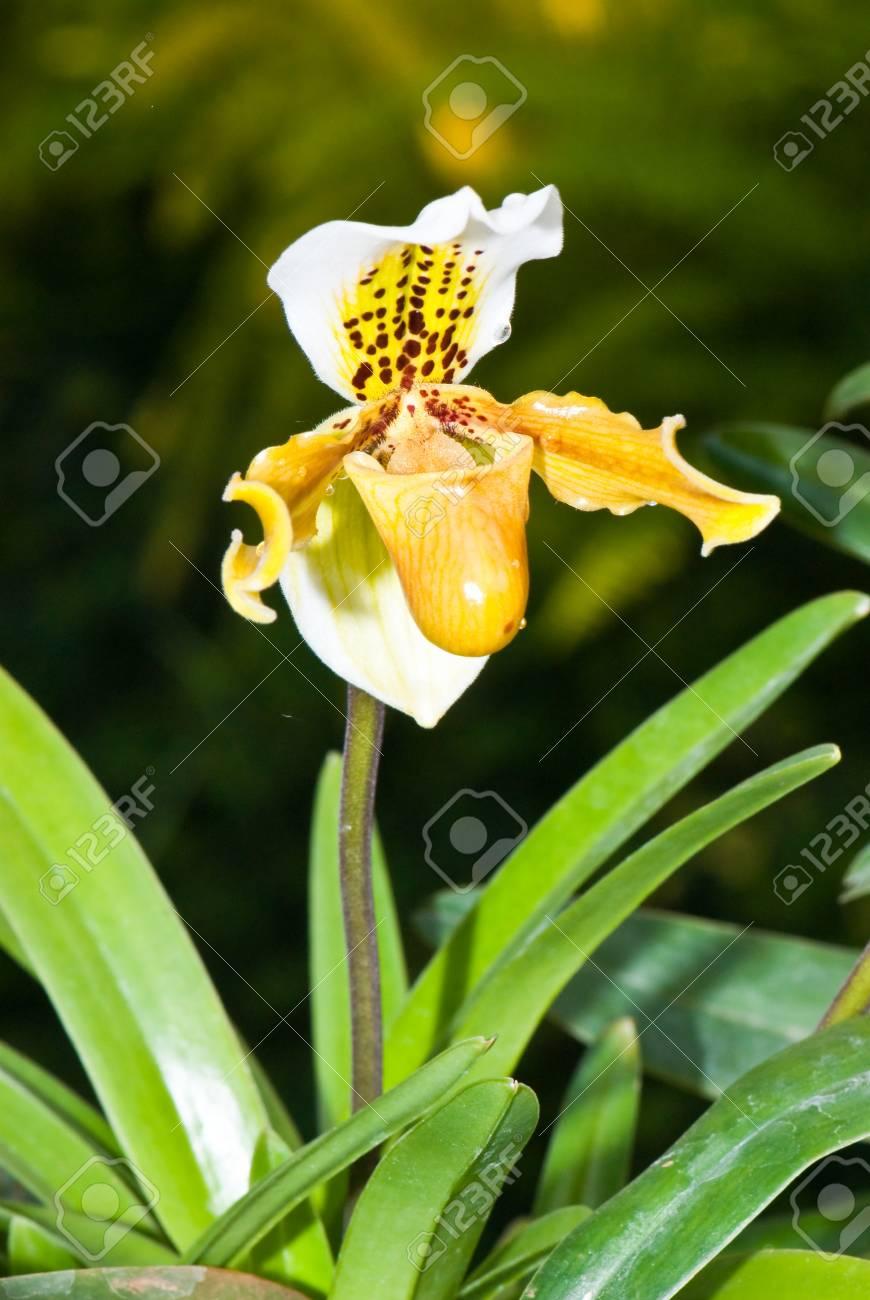 Close-up of Paphiopedilum (lady's slipper) in garden, Thailand. Stock Photo - 8281362