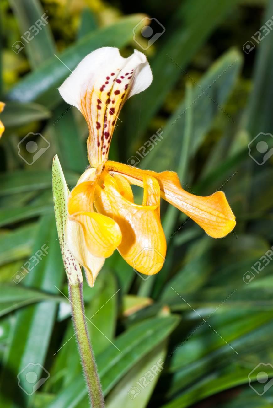 Close-up of Paphiopedilum (lady's slipper) in garden, Thailand. Stock Photo - 8281358