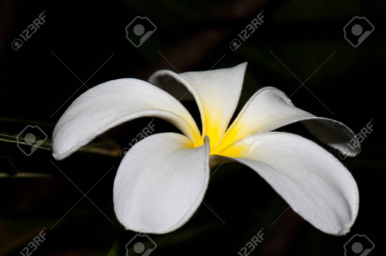 Close-up of beautiful white plumeria with black screen, Thailand. Stock Photo - 10201923