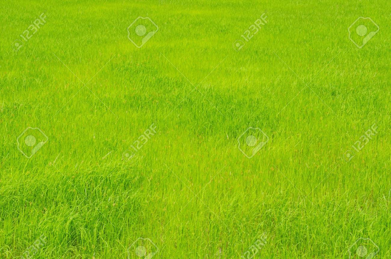 Green field in the country, Thailand. Stock Photo - 15256725