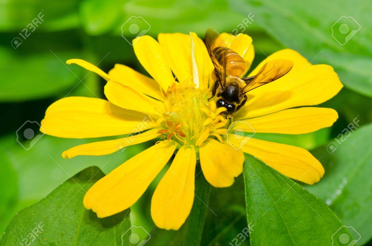 Close up of yellow zinnia flower and bee thailand stock photo close up of yellow zinnia flower and bee thailand stock photo 16787394 mightylinksfo