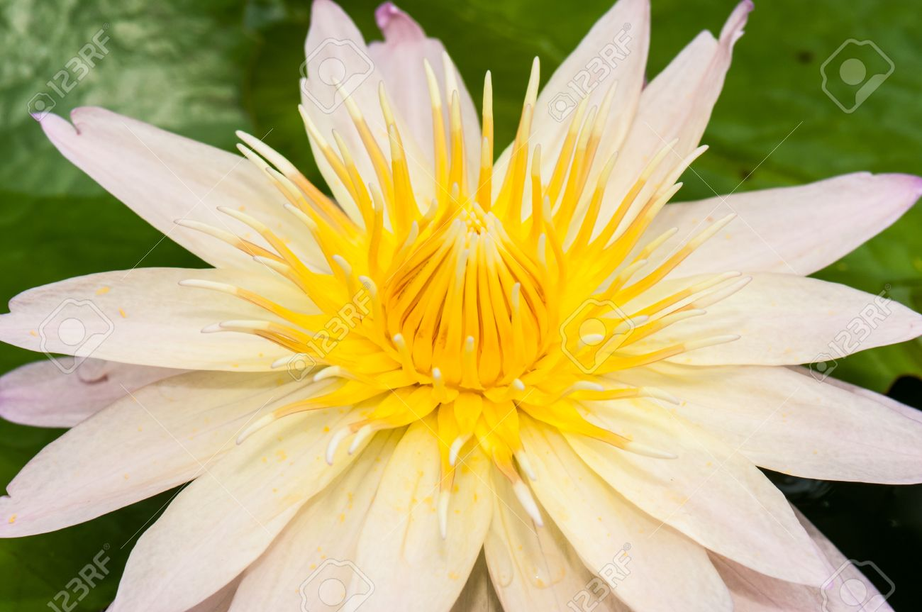 Close Up Inside Of White Lotus Flower Thailand Stock Photo Picture