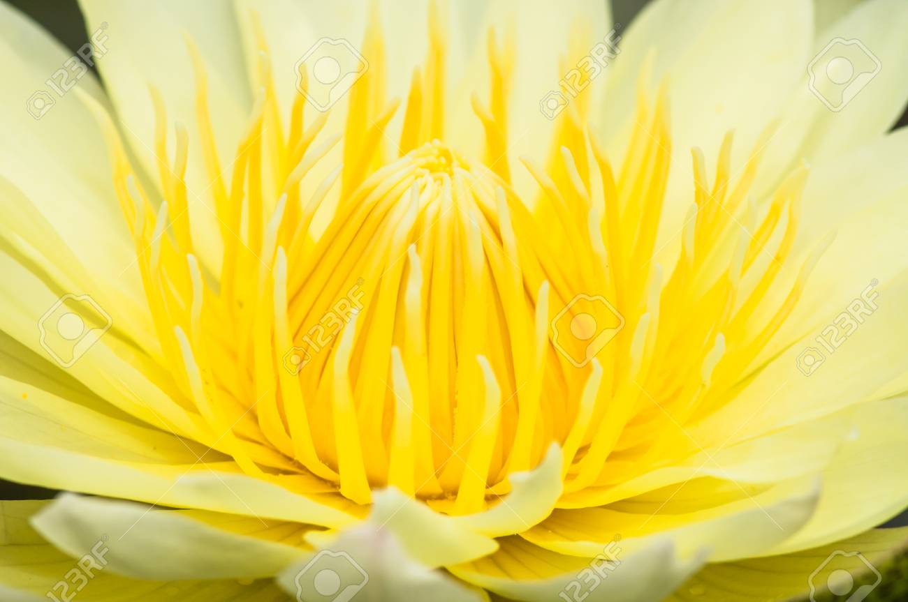Close Up Inside Of Lotus Flower Thailand Stock Photo Picture And